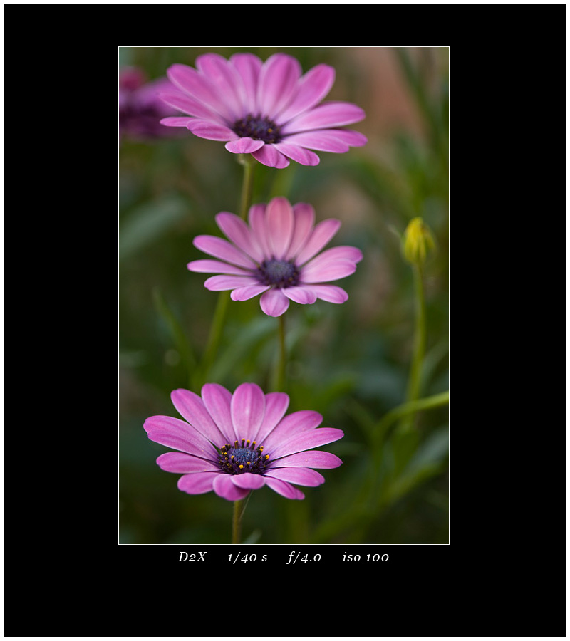 Flowers D2X